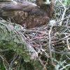 Mały ekosystem w gnieździe orlika grubodziobego